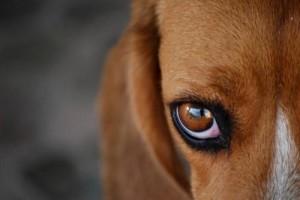 importancia-de-la-limpieza-de-los-ojos-del-perro_c1is7