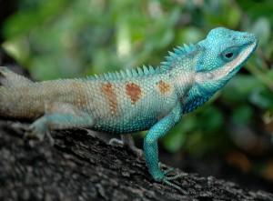 Bangkok_Reptiles_Blue_crested_Lizard