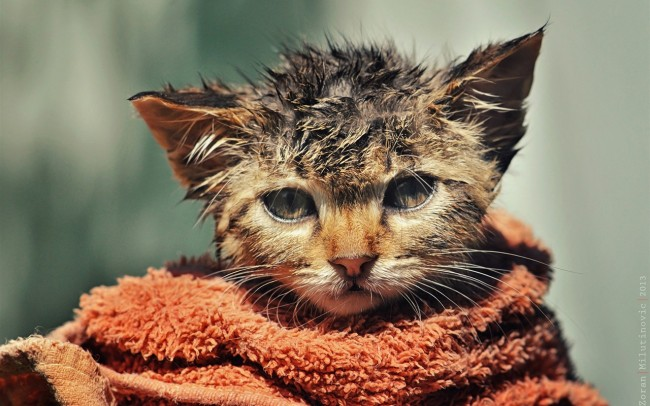 Cute-kitten-disheveled-wet-towel_1280x800