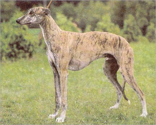 Greyhound-muzzle-Greyhound