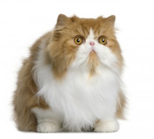 Front view Persian cat, sitting and looking away