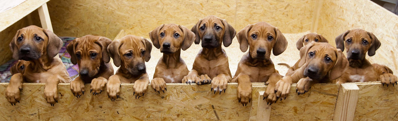 cachorrosperros-alemania2