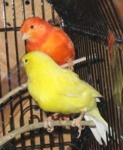 canarios-domesticos