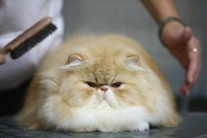 cepillo-gato-persa
