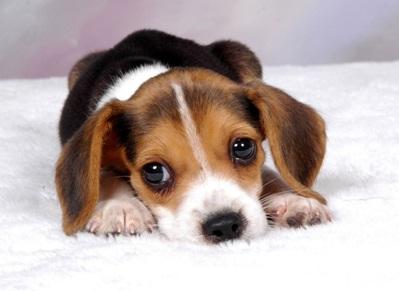 Beagle-Anxiety