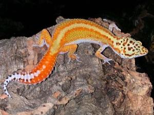 LeopardoGecko