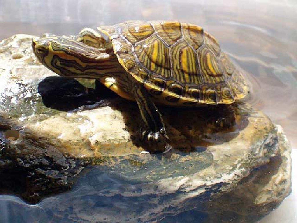 Cuidados b sicos para las tortugas de agua c mo debemos for Acuario tortugas