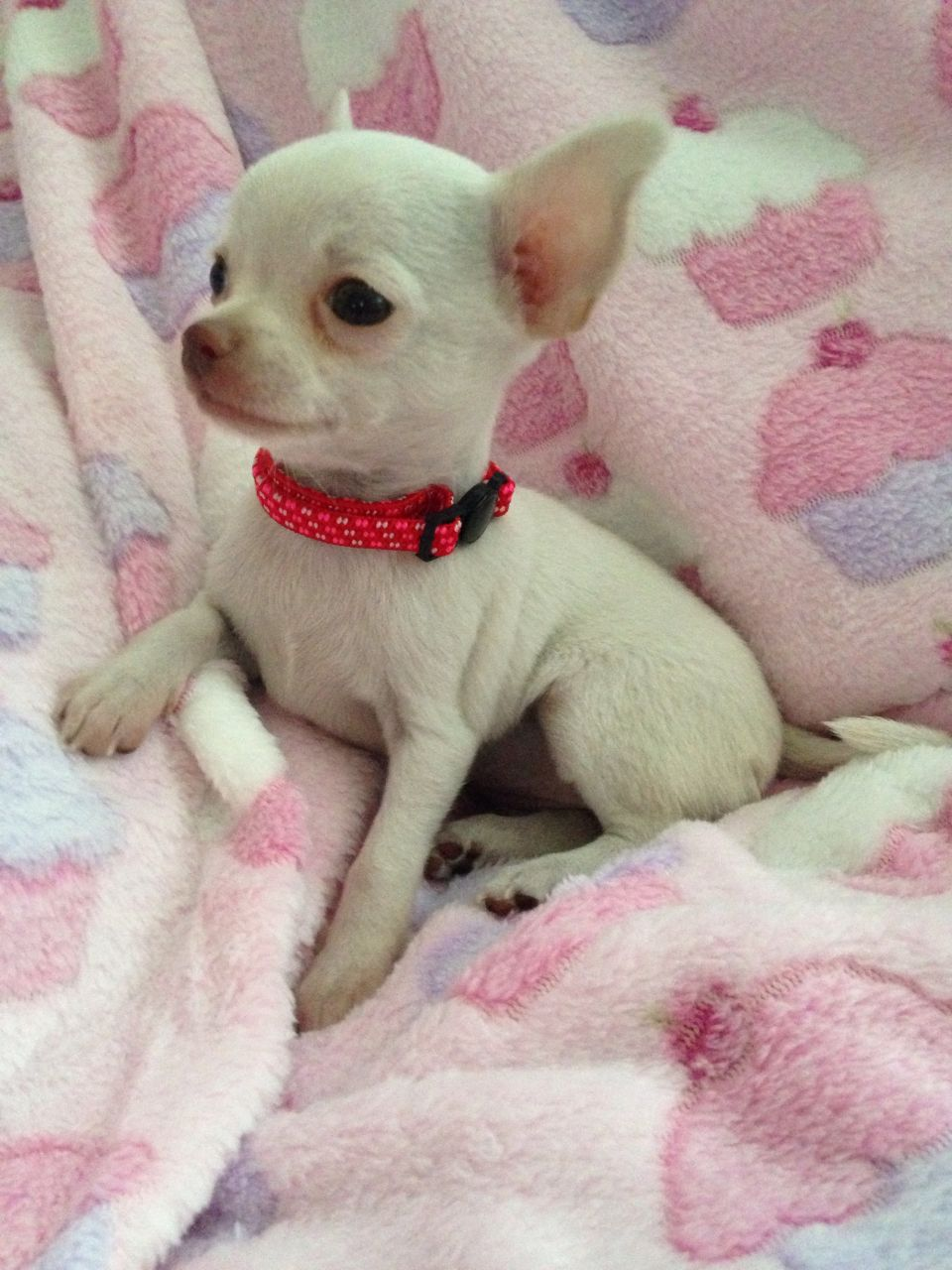 chihuahuaxxx-ready-now-xxx-2-chihuahua-puppies-527a2b7ebd3a5