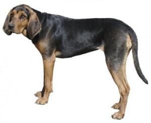 coonhoundsf1