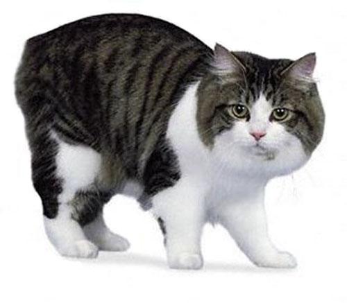 gato manxcymric-cat