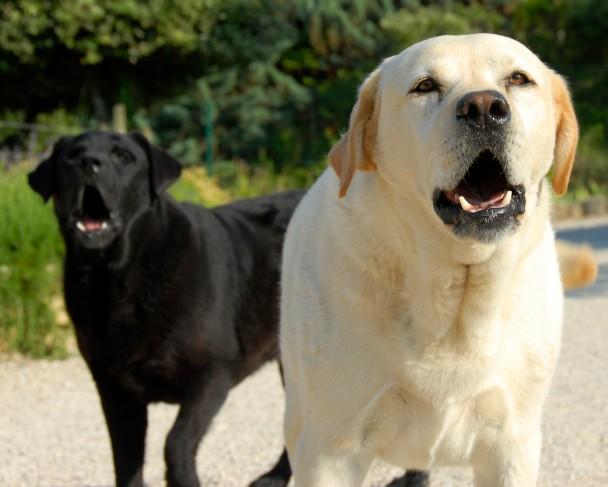 ladrido-perros