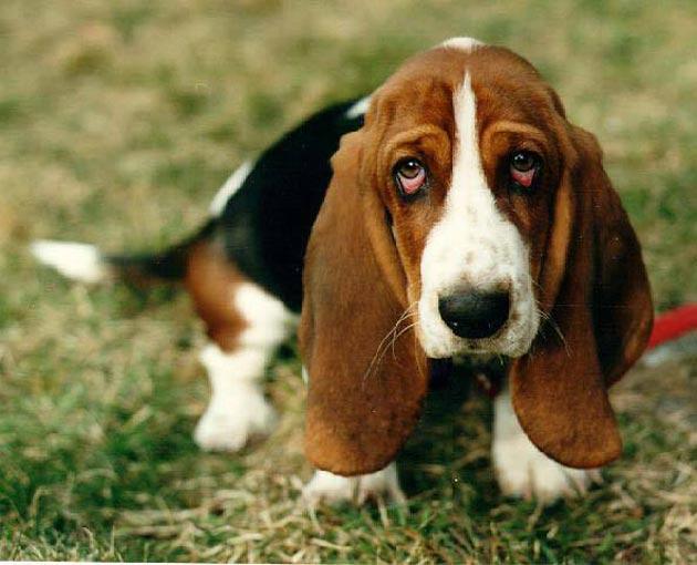 perro-basset-hound
