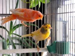 preparacion-para-la-cria-de-canarios-accesorios