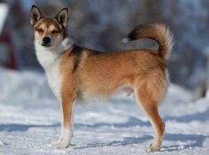 razas-de-perros-lundehund-noruego