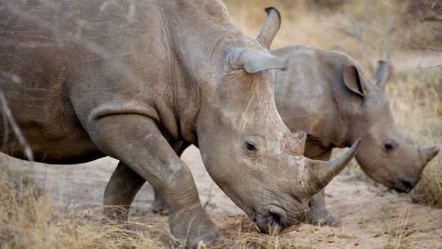 rinocerontes-caza-ilegal-especies-02