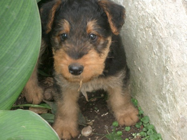 Airedale-terrier (00)