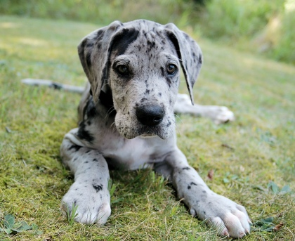 Great-Dane-Puppy-For-Sale