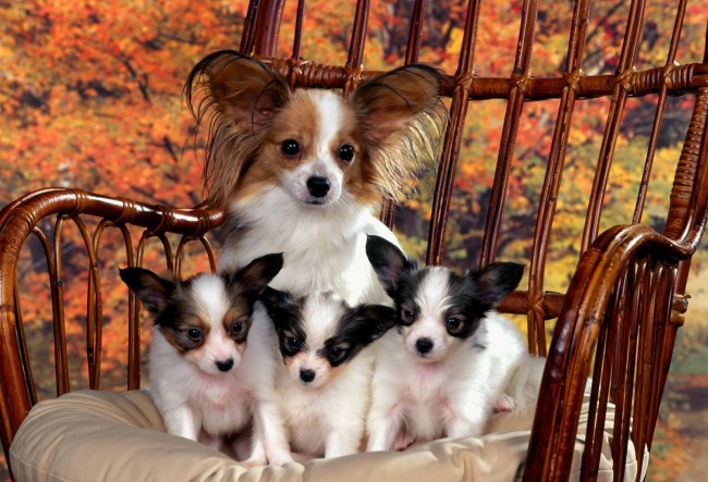 Papillon Mom and Puppies