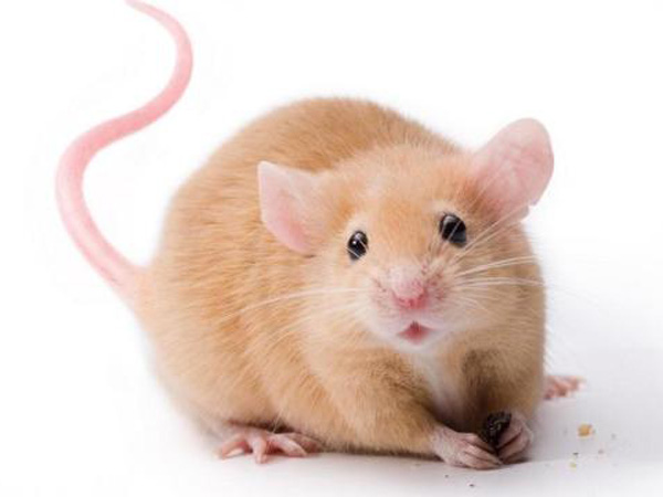 Es posible que tengamos ratones como mascotas - Como evitar los ratones ...