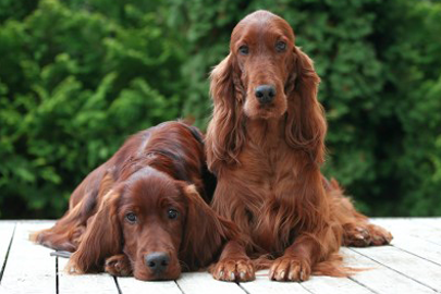 S1-EK9-Breeder_Buzz-irish_setter_dog_breed-299