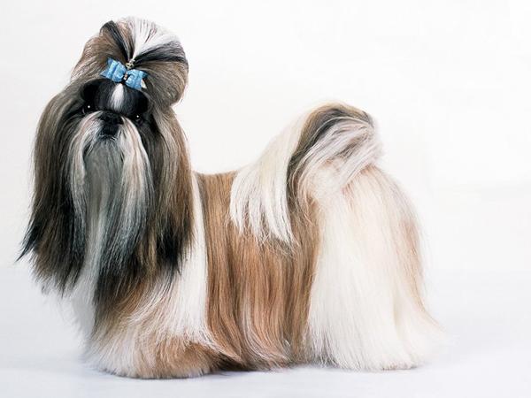 C mo se debe cuidar a un perro de raza shih tzu - Cuando se puede banar a un perro ...