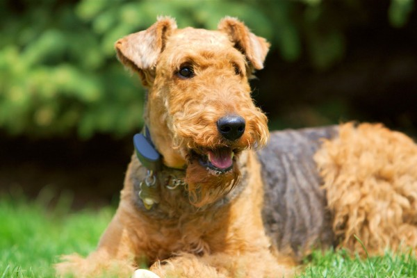 airedale-terrier2
