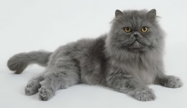 blue-persian-cat