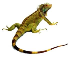 iguana (1)