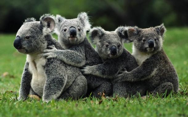 koala-