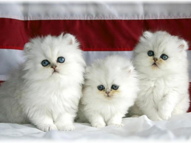 persian-persian-cats-34588942-1600-1200