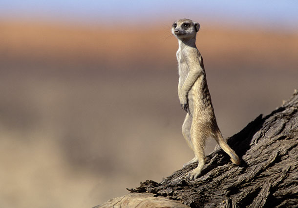 suricata-suricatta-2