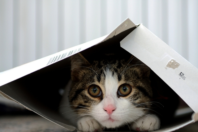 white-and-tabby-cat-in-small-box1