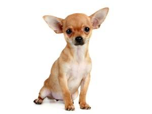 ChihuahuaPeloCorto