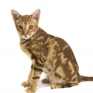 GatoOcicat