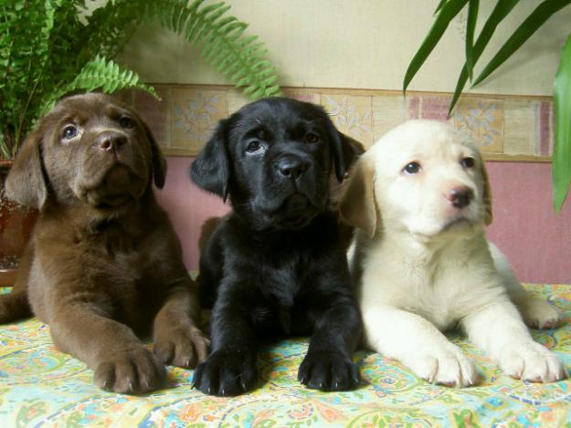 Puppies-Labrador-Retriever