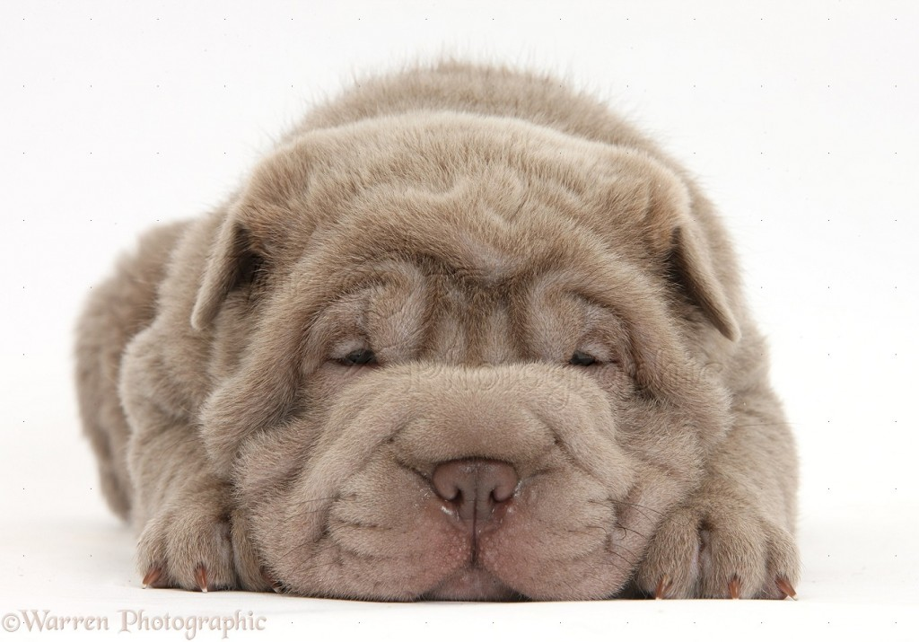 Shar Pei pup lying with chin on the floor