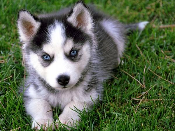 Siberian-Husky-cachorros-20130316164047