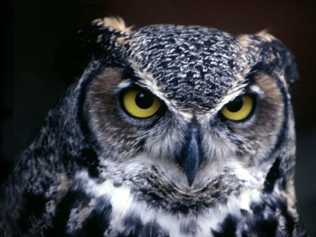 buhoAnimals-North-American_Great-Horned-Owl-St.-Louis-Missouri