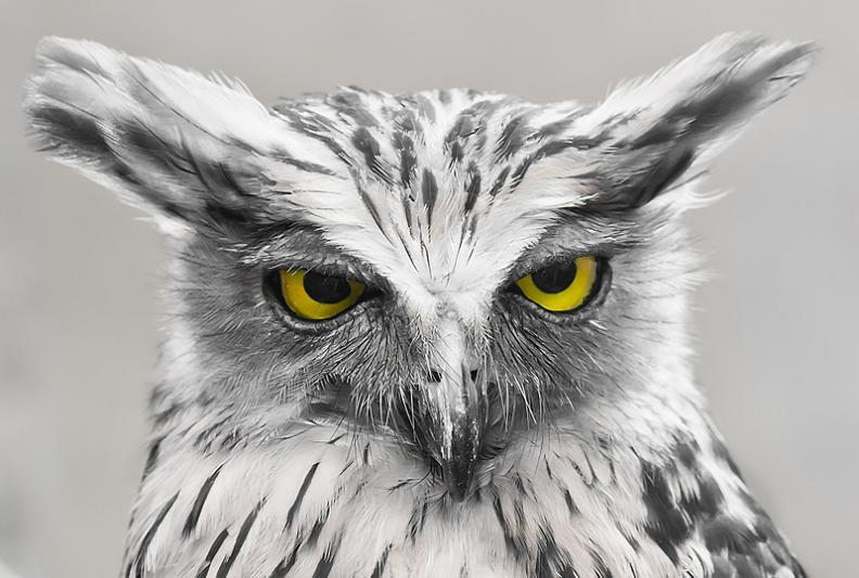 buhosowl-look-of-disapproval