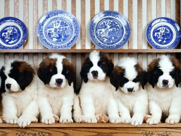 cachorros-de-san-bernardo