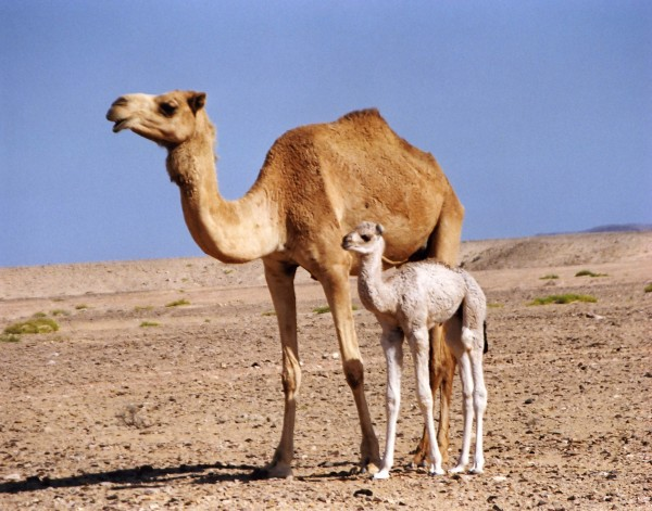 camellos-600x471