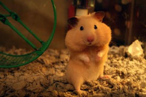hamster-full-cheeks