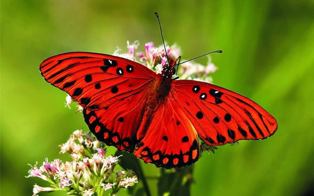 mariposa-roja