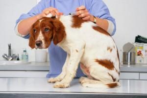 perro-vacuna