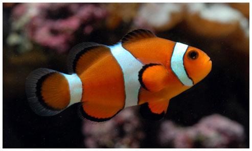 C mo se puede criar un pez payaso consejos e ideas for Como hacer un criadero de peces
