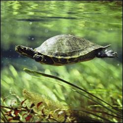 tortuga-de-agua