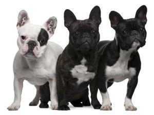 BulldogFrances