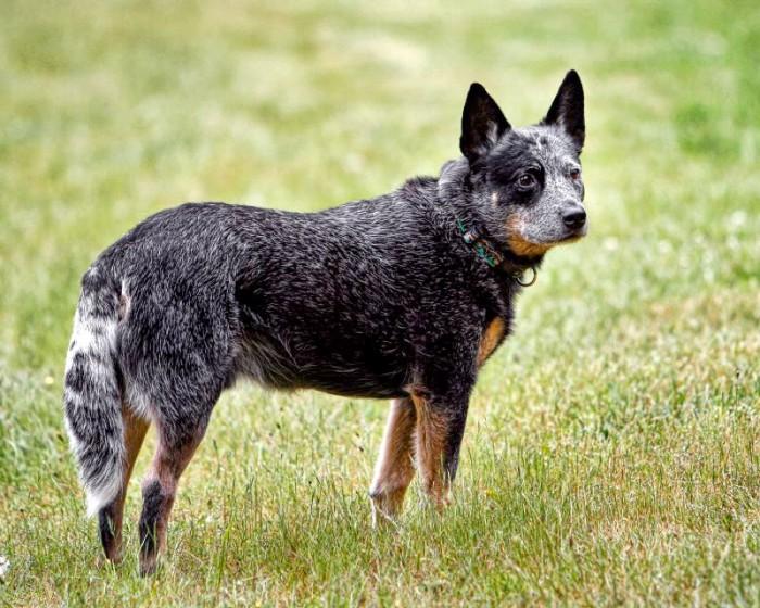 Cattle Dog Australiano