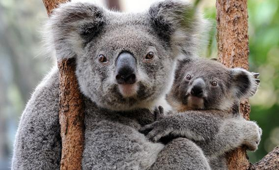 Koalas.jpg.CROP.rectangle3-large