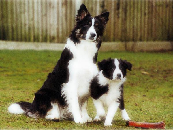 Border Collie Dog For Sale Mi